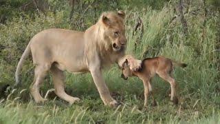 БЛАГОРОДНЫЕ ЖИВОТНЫЕ ( звери спасают людей и друг друга )