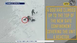 В Чернобыле спасли собаку, которая вылезла на вершину саркофага
