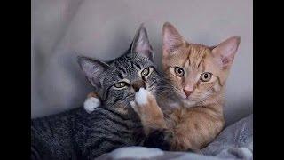 Кошки разговаривают по- человечески