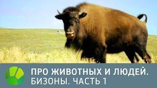 США. Бизоны. Часть 1 - Про животных и людей | Живая Планета