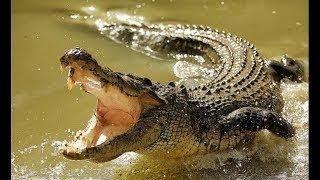 Дикие животные. Африка. Нильский крокодил. Документальный фильм.