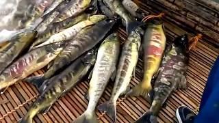 Необычная Рыбалка Смотрите как Люди, ради Ловли Рыбы в Реке, Ставят Бамбуковые Дамбы Приманки