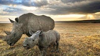 Охота на охотника Ярость носорога National Geographic Wild