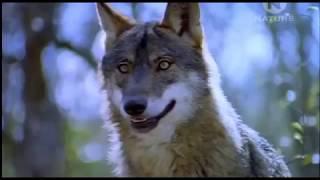 Животные мира Волки Испании Самый опасный Охотник ветров Гимн клана Туманный вождь Сила родства
