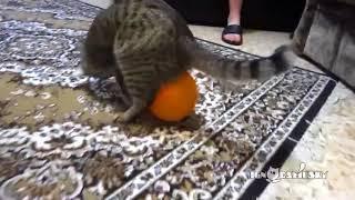 КОТ ШАРИК И ЭЛЕКТРОСТАТИКА приколы юмор ржач угар лучшее жесть интересное просветление кошки