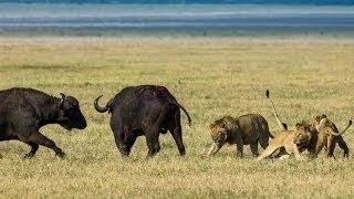 Дикая природа Буйвол хозяин Африки Документальн