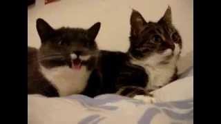 Коты разговаривают   по русски