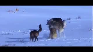 История про чёрного волка. Дикая природа. мир животных. Реальная жизнь волков
