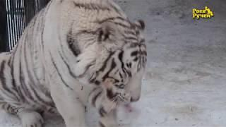 Тигр Хан